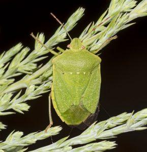 الحشرة الخضراء